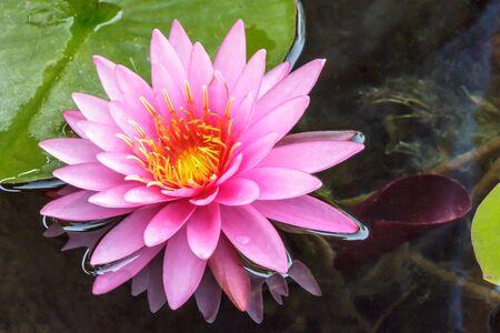 pink lotus flower water  in full bloom Stock Photo
