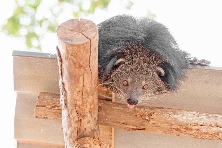 civet cat: Curiosity bearcat on the roof