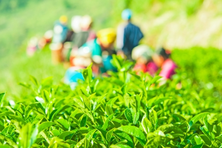 worker harvest in tea field photo