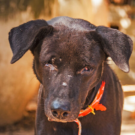 A poor blind black dog Stock Photo