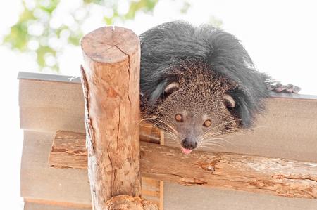 bearcat: Curiosity bearcat on the roof.
