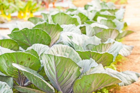 beautiful organic cabbage plant on soil photo