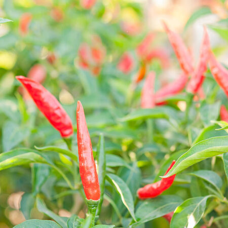 Red spicy chili on tree photo