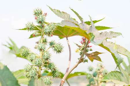 biodiesel: Biodiesel is produced from the seed pods of castor bean plants Stock Photo