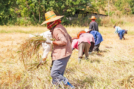 Farmers harvesting rice paddy by using sickles photo