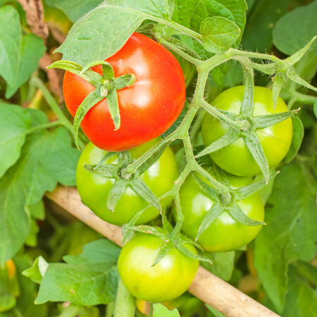 red and greenorganic tomato plant and fruit