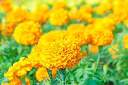 French marigold in summer/Orange marigold flowers 版權商用圖片 - 29165633