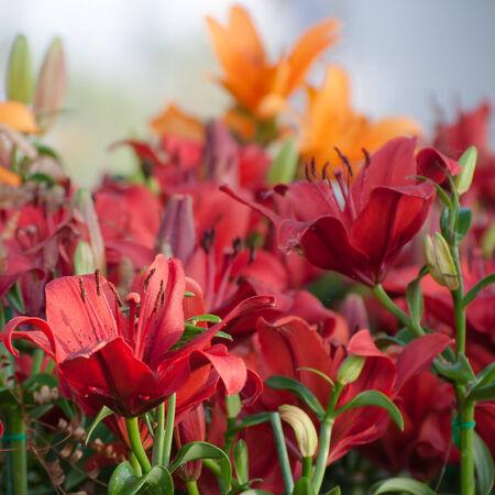 red and orange lilies in summer garden photo