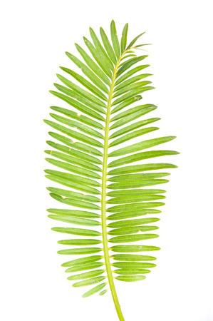 Grünes Blatt der Palme auf weißem Hintergrund Standard-Bild - 33545135