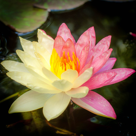 mutant: Lotus mutant with two colors in a single flower