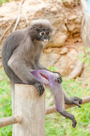 barbaric: Poor Dusky Leaf Monkey get big wound on it leg Stock Photo