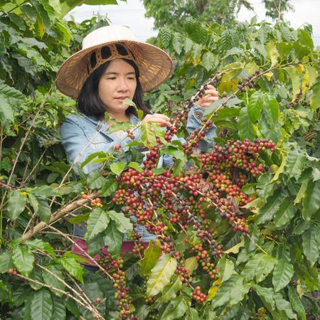 women picking coffe seed in the farmland