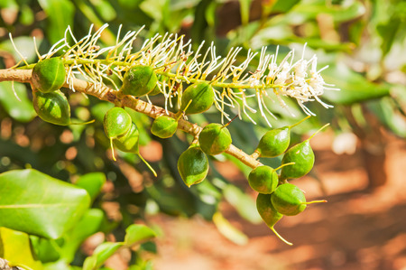 Green macadamia nut with flower on tree. Stock Photo