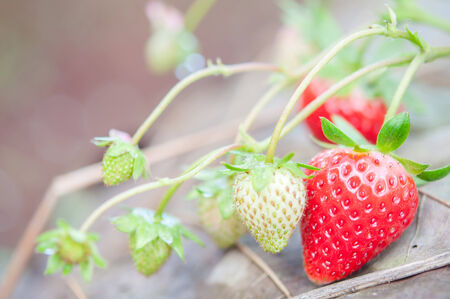Organic strawberry plants in nature photo