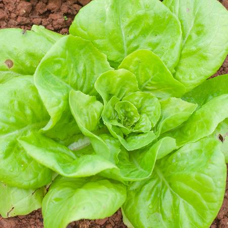 apium graveolens: Organic celery grow on good siol