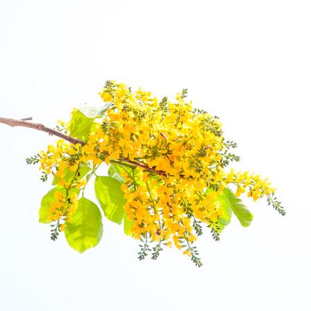 pterocarpus indicus flowers isolated on white background Stock Photo