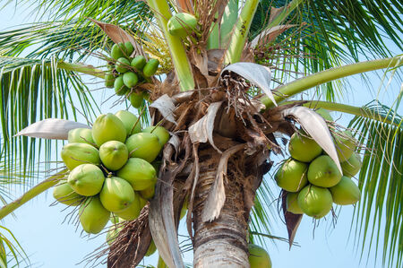 coconut tree with fruits against blue sky