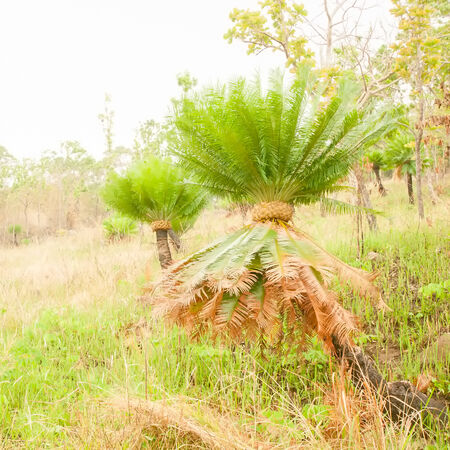 Cycads are growing on a cliff in the forest Stock Photo
