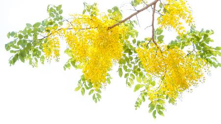 drumstick tree: Golden Shower Tree Stock Photo