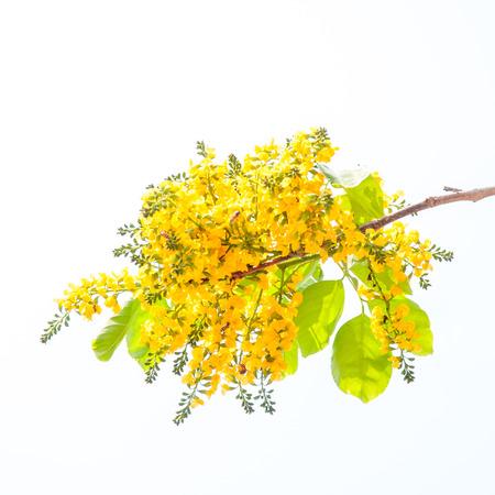 Narrabaum Blumen isoliert auf weißem Hintergrund Standard-Bild - 34239148