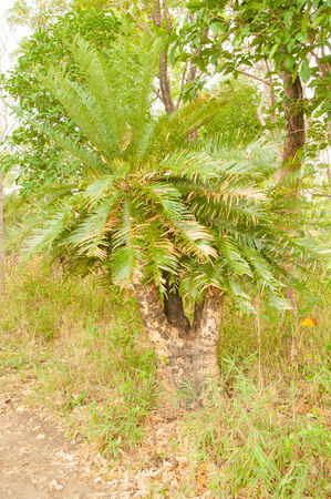 aslant: Cycads are growing on a cliff in the forest Stock Photo
