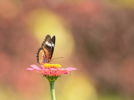 zinnia: pink zinnia with butterfly