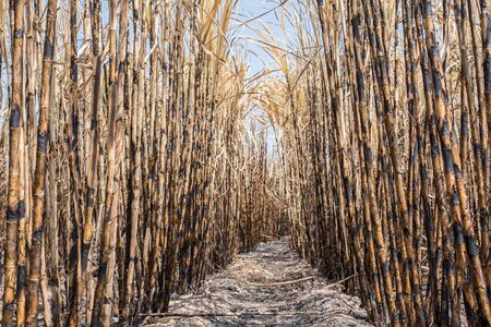 sugar cane farm: New style background,sugarcane field burned.