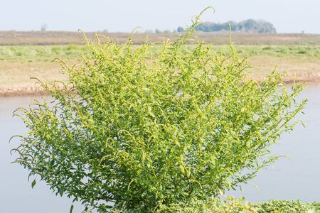 thai herb: natural Amaranth tree  near the river