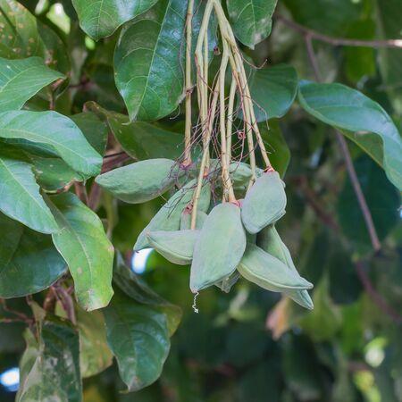 reduces: Chestnut tree special species (Sterculiamonosperma Vent)