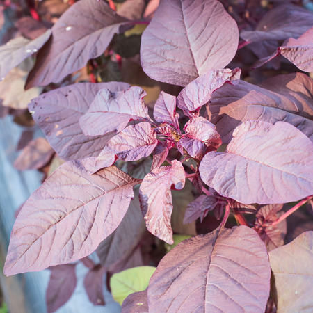 spinach salad: Organic purple amaranth tree,spinach in nature