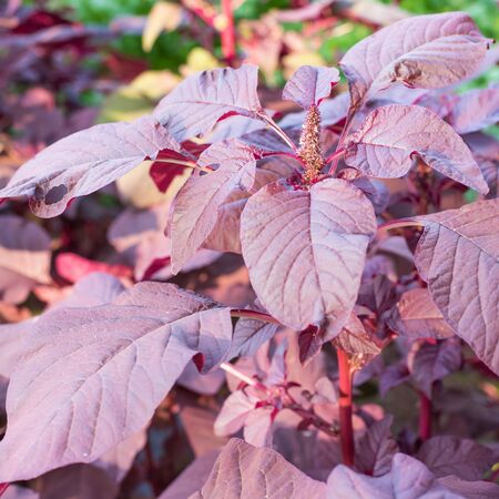 spinach: Organic purple amaranth tree,spinach in nature