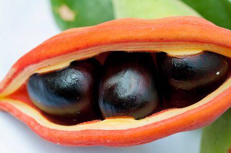 vent: Chestnut tree special species (Sterculiamonosperma Vent)