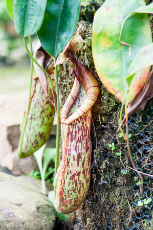 nepenthes: nepenthes,insect eatting plant. Stock Photo