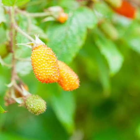 a rare: Rare mulberry in wild Stock Photo