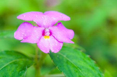 lizzie: Rare Impatiens flower in wild
