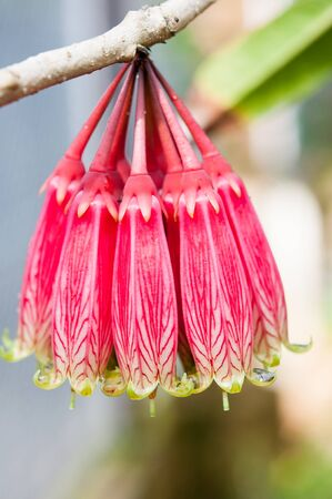 ericaceae: Frower rara nel nord della Thailandia: Cross-foglie Heath; ERICACEAE (Agapetes megacarpa WW Sm.)