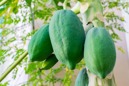 green papaya: green papaya tree