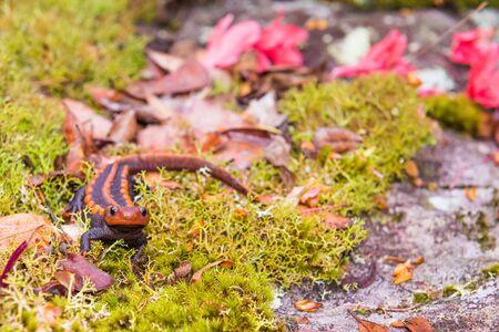 salamandre: femme salamandre de maintien v�t�rinaire dans la main Banque d'images