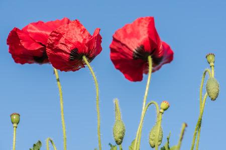 Heroin poppy stock photos royalty free heroin poppy images opium poppy field mightylinksfo