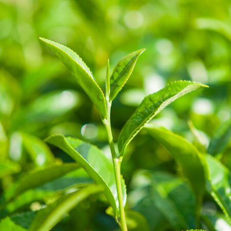 Tea leave in the field Stock Photo