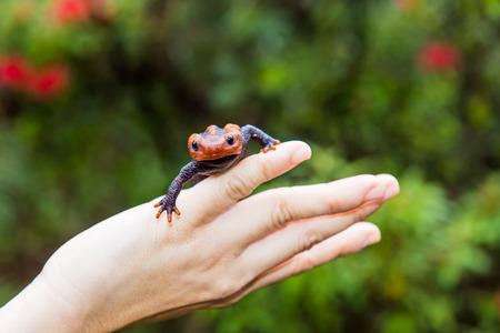 salamander: female veterinary holding salamander in hand