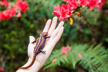 salamandra: celebraci�n salamandra veterinaria femenina en la mano