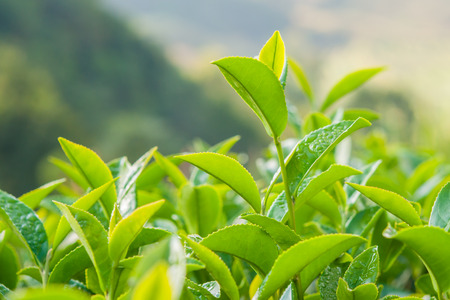 fresh green: Tea leave in the field Stock Photo