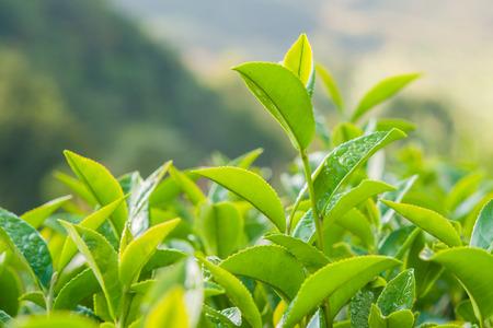 Tea leave in the field Standard-Bild