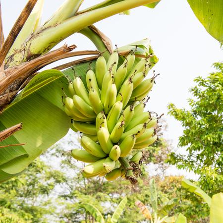 flora: fresh green banana tree with flora Stock Photo