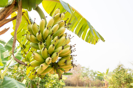 banana: fresh green banana tree with flora Stock Photo