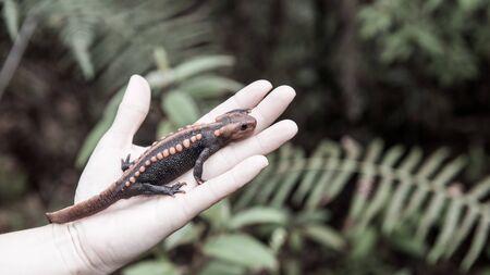 salamandra: celebración salamandra veterinaria femenina en la mano