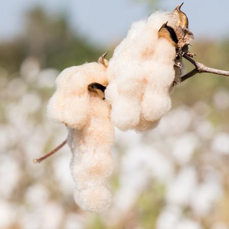 bolls: Close-up of Ripe cotton bolls on branch Stock Photo