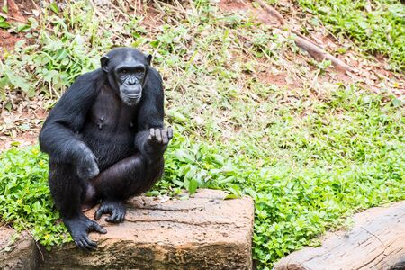 bonobo: Chimpanzees in zoo beg food from tourists