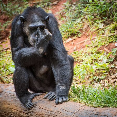 to beckon: Chimpanzees in zoo beg food from tourists